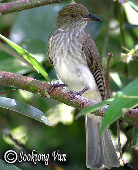 Burung siri-siri