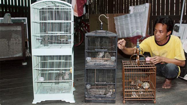Perawat GRD Bird Farm sedang meloloh anakan cucakrowo.