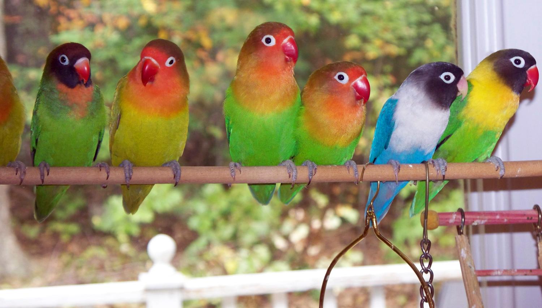 terapi 1 minggu untuk gacorkan lovebird klub burung