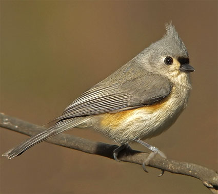 Tufted Titmouse | Baeolophus bicolor