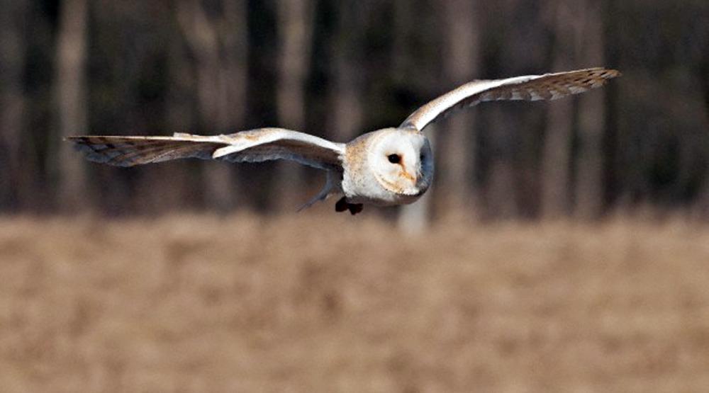 Tyto alba mampu terbang menukik-cepat tanpa mengeluarkan suara.