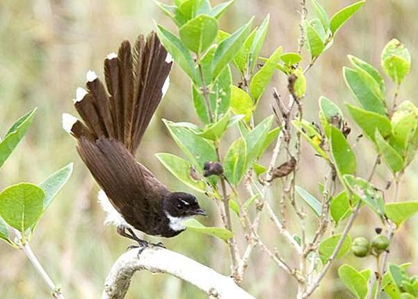 Berkicau sambil mengibaskan ekornya seperti kipas menjadi keunikan tersendiri bagi burung ini