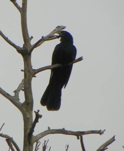 Burung tuwu atau kulik