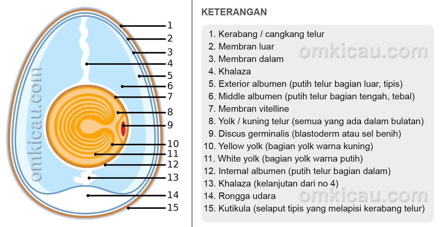 anatomi-telur