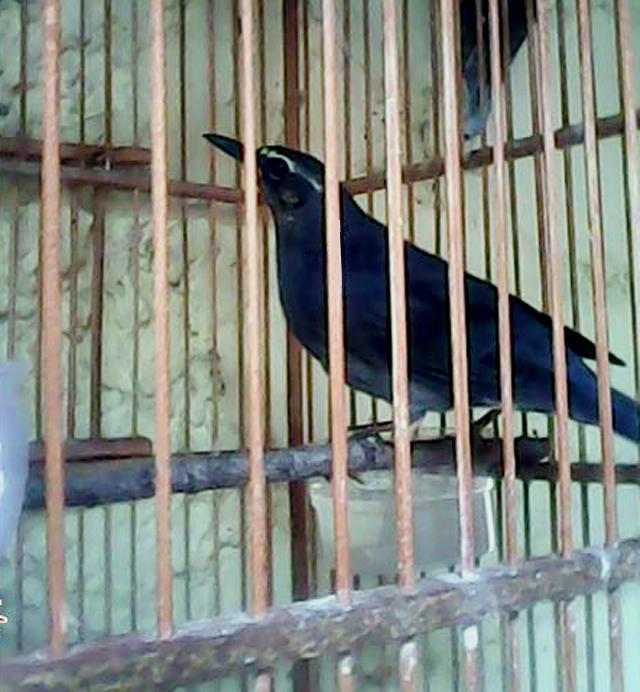 Burung anis siberia (Zoothera sibirica) dalam sangkar.