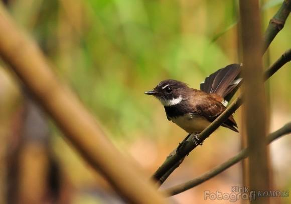Rhipidura Javanica di tengah hutan muara angke | photo kompas.com