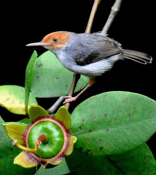 Dikenal sebagai burung yang susah dirawat karena rentan terhadap stress dan penyakit