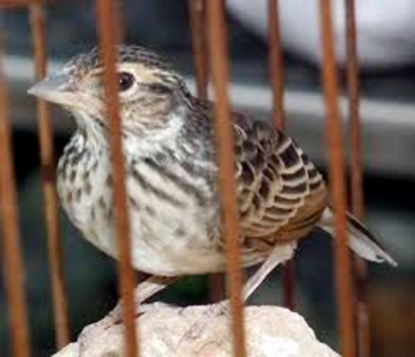 Branjangan bakalan muda lebih mudah dijinakkan daripada burung dewasa.