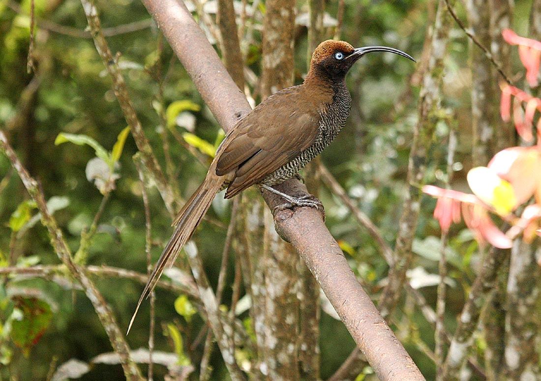 Burung paruh-sabit cokelat betina, ekornya lebih pendek.