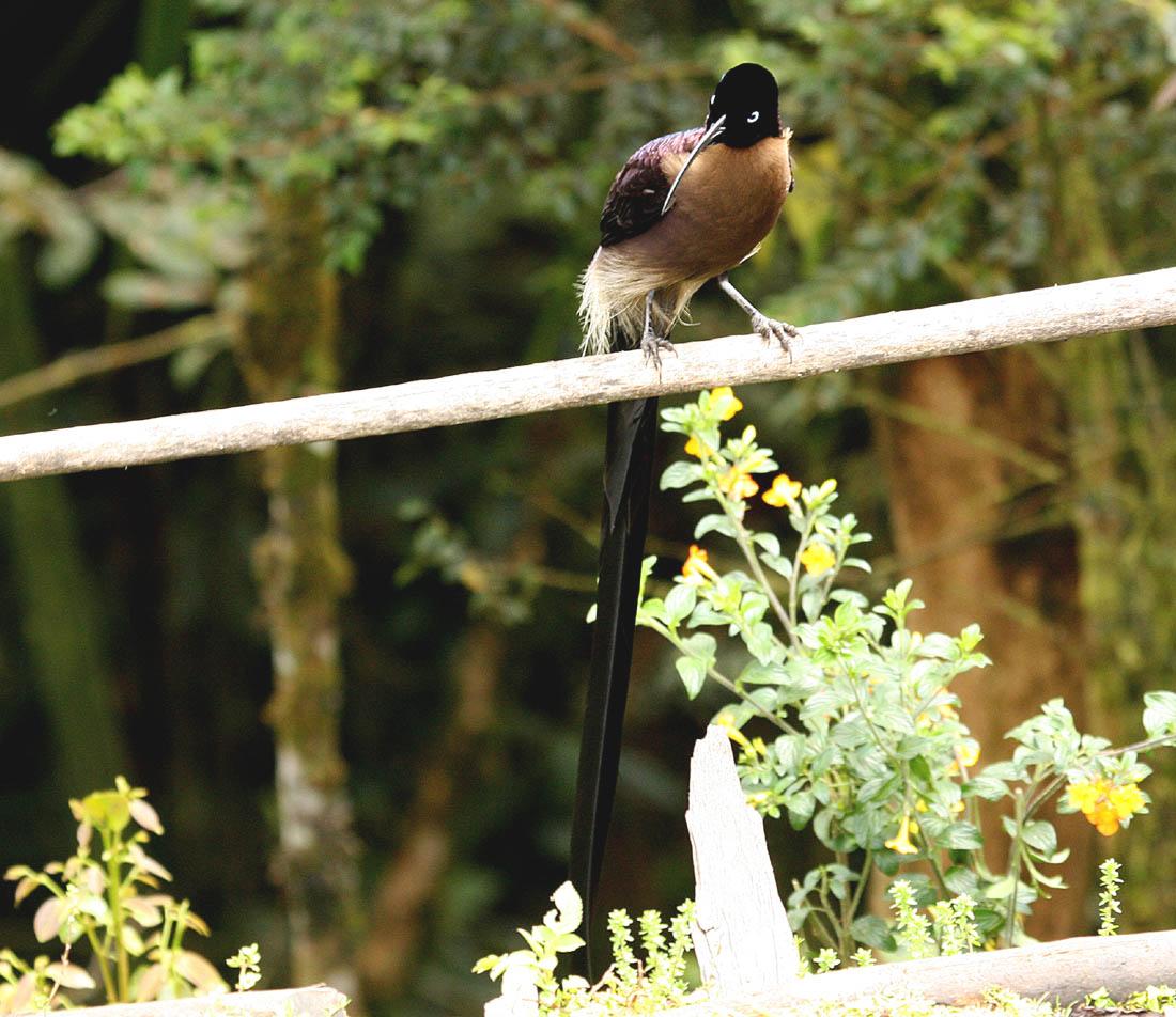 Burung paruh-sabit cokelat jantan