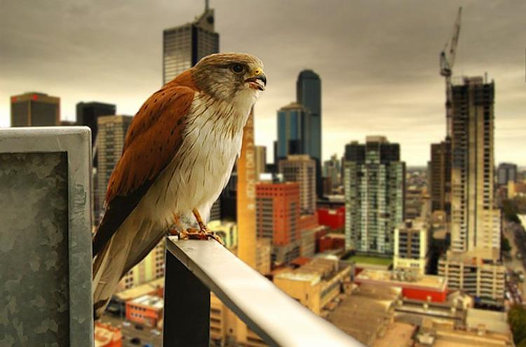 Di puncak gedung. burung ini sedang mikir kapan punya bini dan anak, he..he..