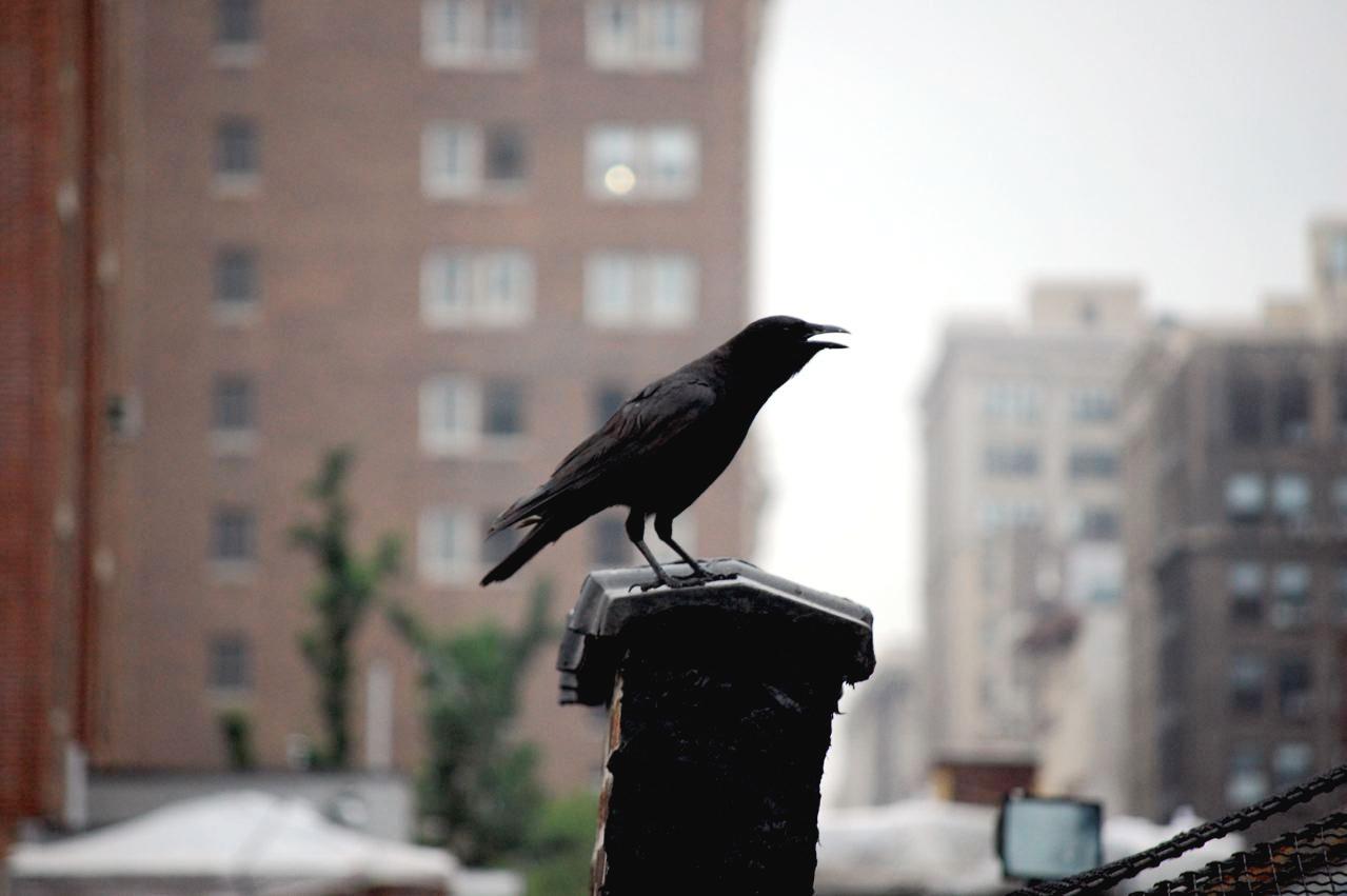 Makin banyak burung di perkotaan yang hidup sendirian.
