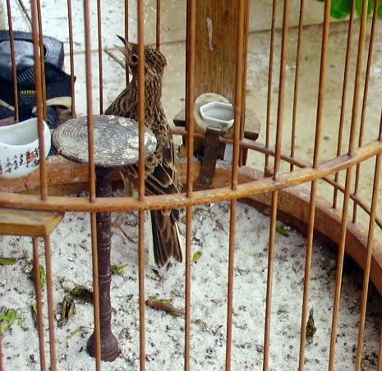 Burung sanma (Alauda gulgula)