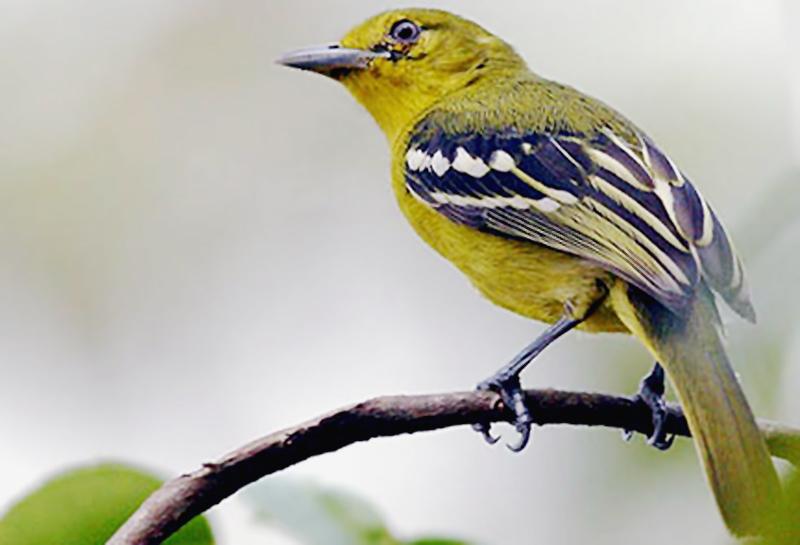 Aneka Suara Untuk Memancing Burung Cipo Agar Mau Bunyi Om Kicau
