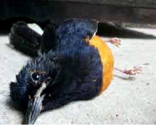 Tetelo sering menyerang burung muda