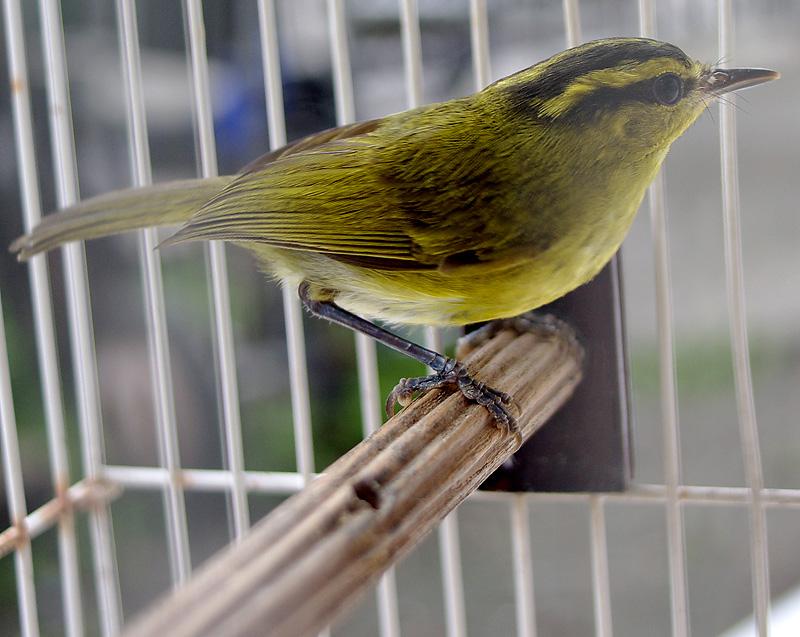 Burung cikrak daun