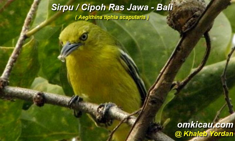 Burung sirpu / cipoh ras jawa-bali (Aegithina tiphia vscapularis)