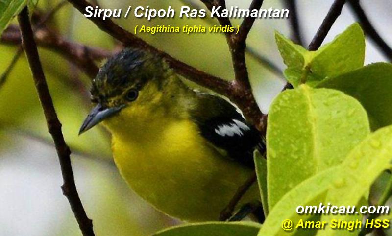 Burung sirpu / cipoh ras kalimantan ()