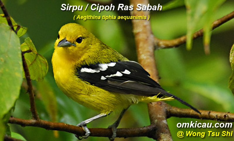 Burung sirpu / cipoh ras sabah (Aegithina tiphia aequanomis)