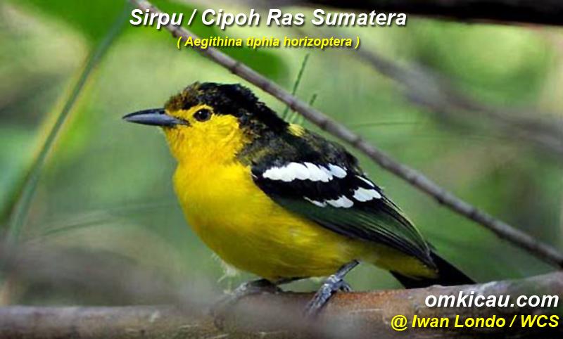 Burung sirpu / cipoh ras sumatere (Aegi thypia )