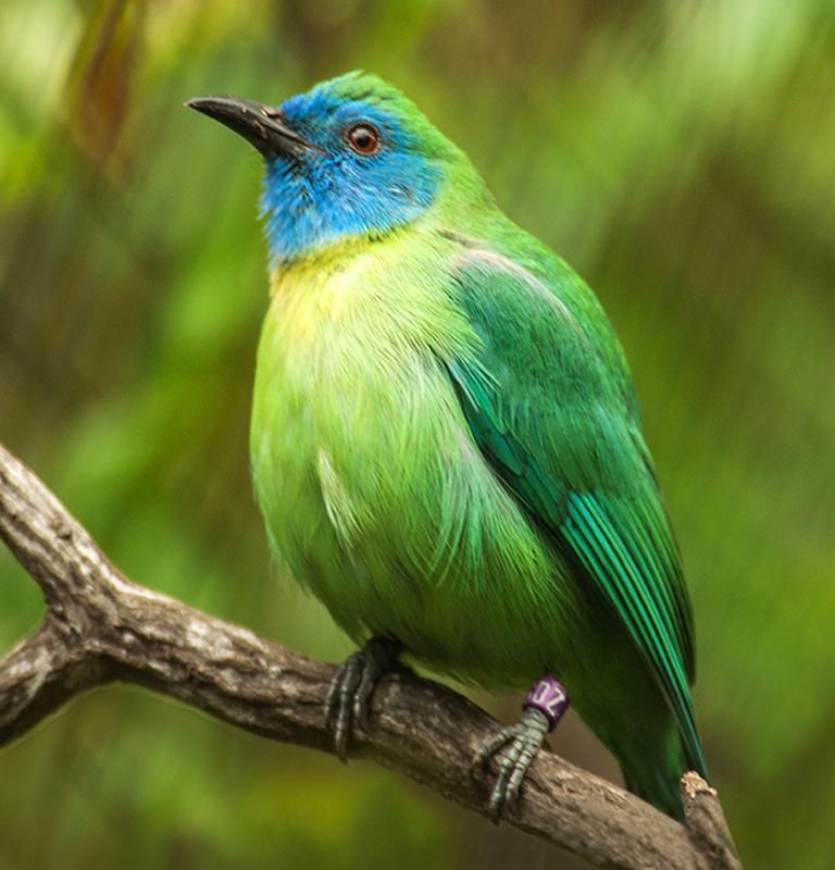 Cucak Rante Mas Burung Cica Daun Terkecil Yang