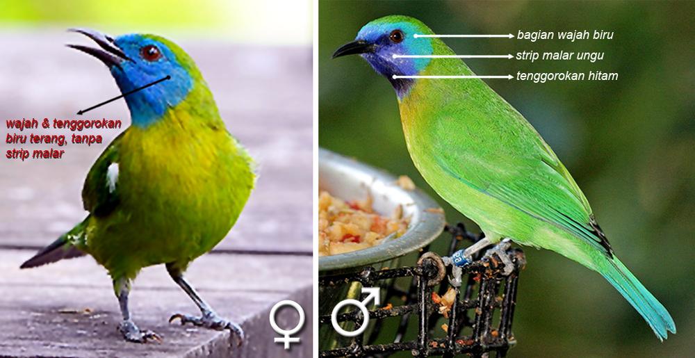 Perbedaan cucak rante mas jantan (kanan) dan betina.