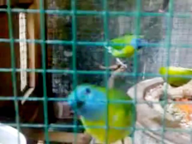 Penangkaran burung cucak rante mas