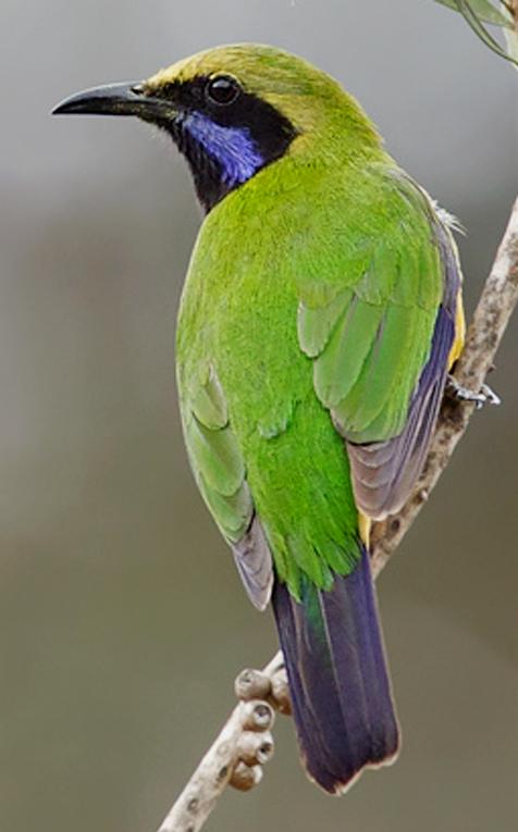 Di alam bebas menyantap nektar, buah, dan serangga.