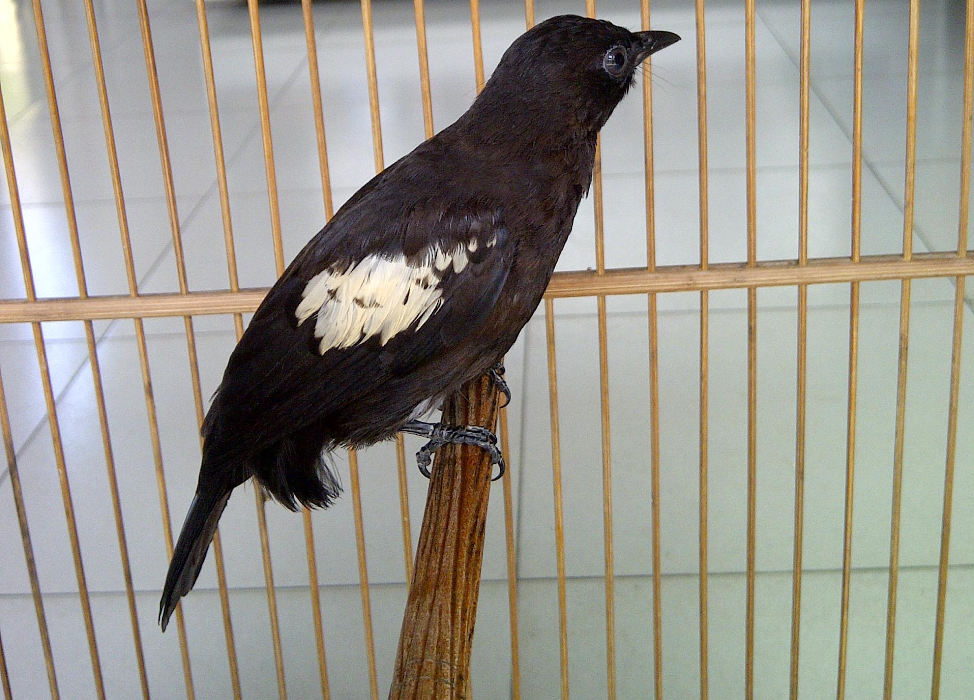 Burung cucak hitam koleksi Om Adry Ryadi Bangka.
