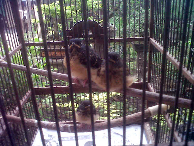 Anakan murai batu Didik 88 Bird Farm Jambi (Foto: Kelana Lana)