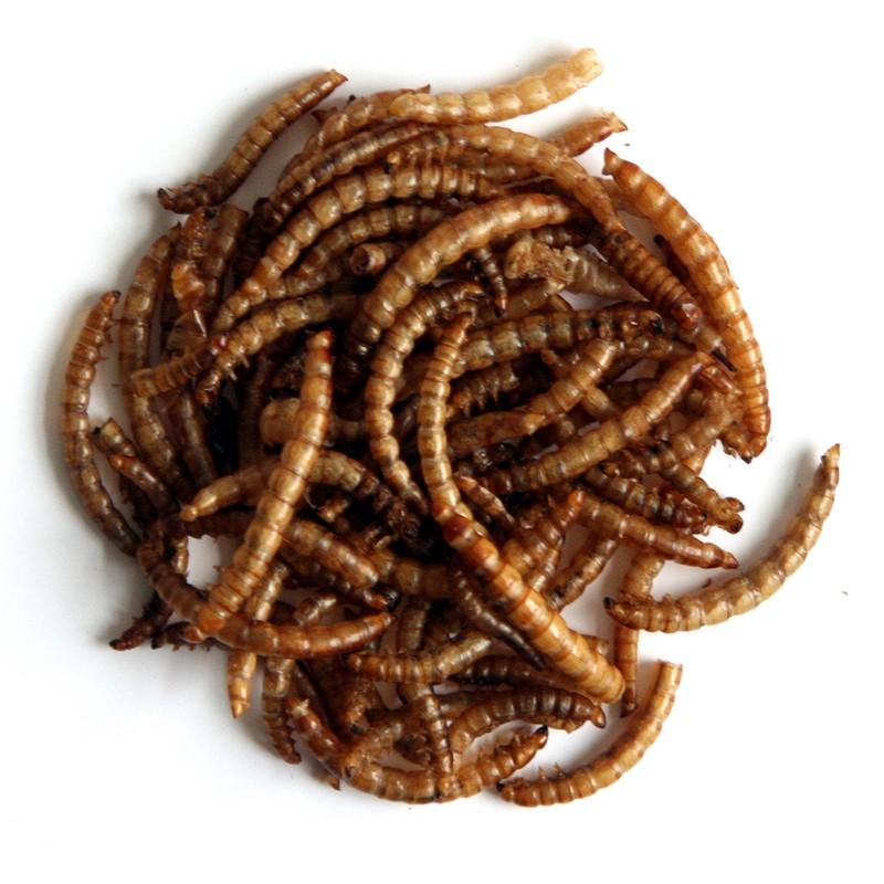 Ulat hongkong yang sudah matang akan berwarna coklat keemasan