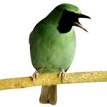 feat-cucak-hijau2