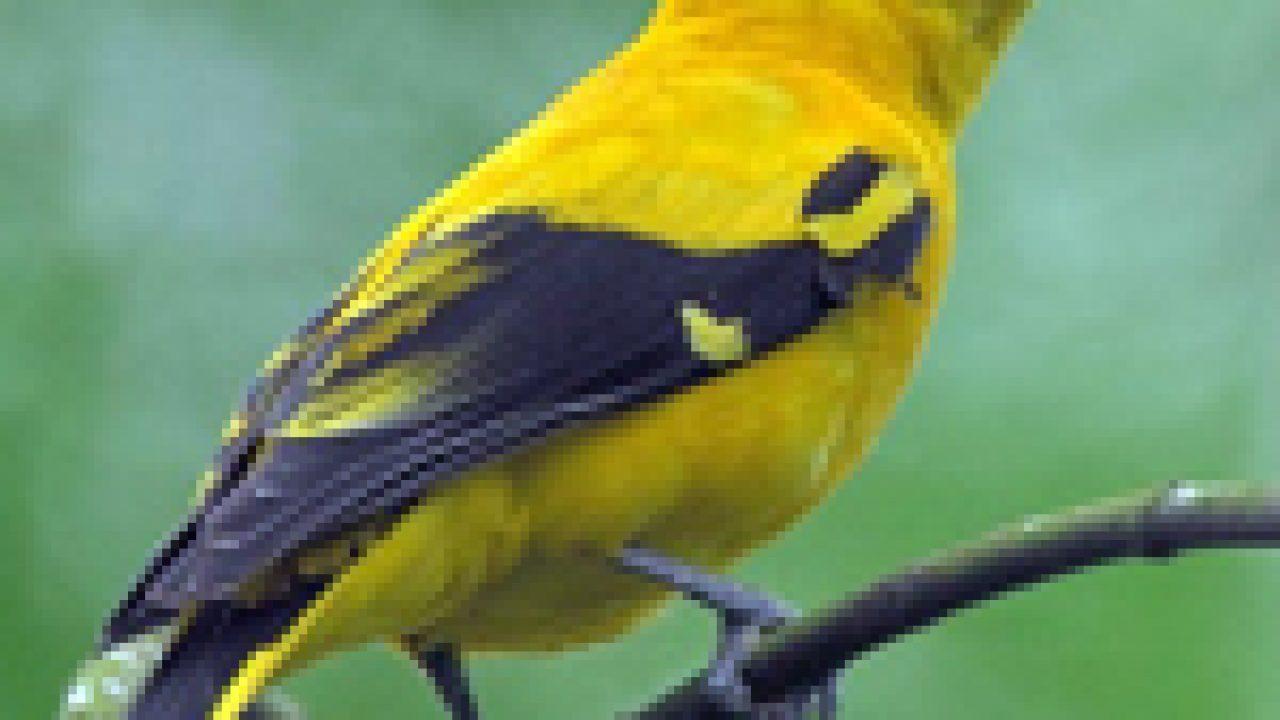 Yuk Kita Rawat Dan Tangkar Burung Kepodang Sebelum Benar Benar Menghilang Om Kicau