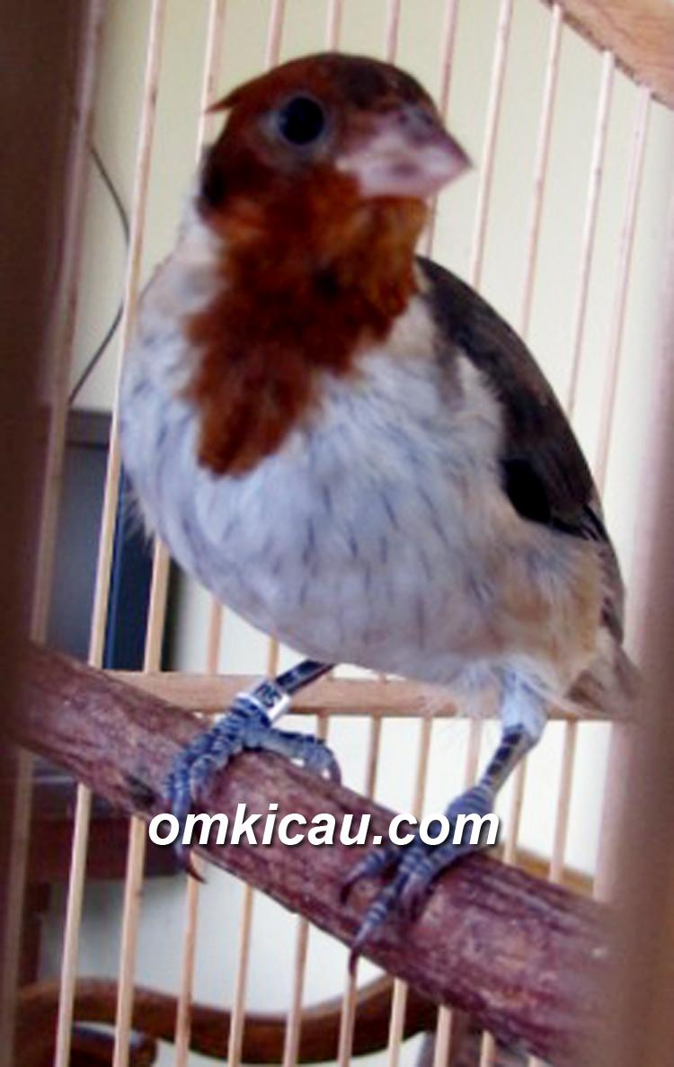 Anakan angry bird yang menginjak masa remaja.