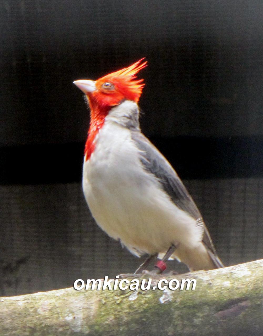 Angry bird jantan dewasa