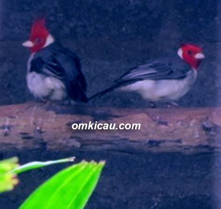 Pasangan angry bird di kandang penangkaran MBOF Bogor.