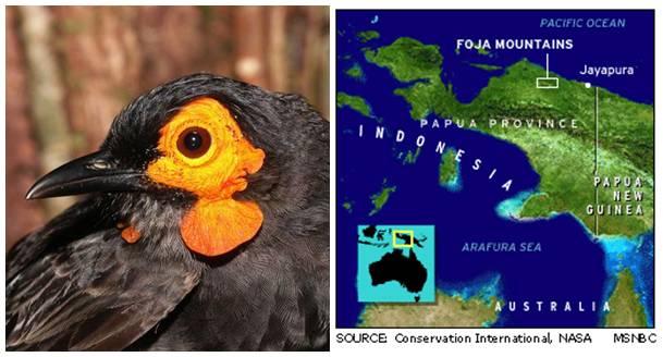 Wattled smoky honeyeater merupakan burung endemik pegunungan Foja di Papua