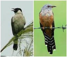 Suara ngeban kutilang dan kedasih inilah yang paling banyak dihindari oleh sebagian besar kicau mania pada burung kicauannya