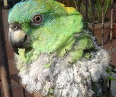 Efektif untuk burung mencabut bulunya