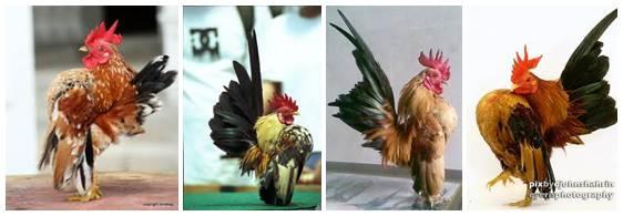 Beberapa gambar ayam serama