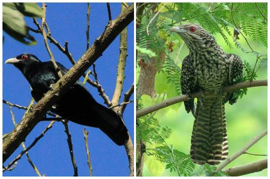 Burung tuwu jantan dan betina bisa dibedakan dari warna bulunya