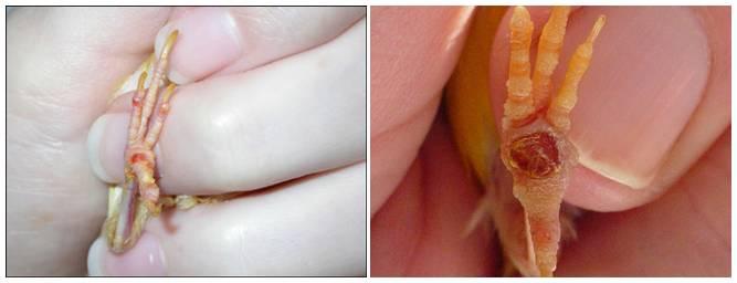 Dari bintik kecil inilah akan muncul bengkak yang lebih parah yang disebut dengan Bumble Foot