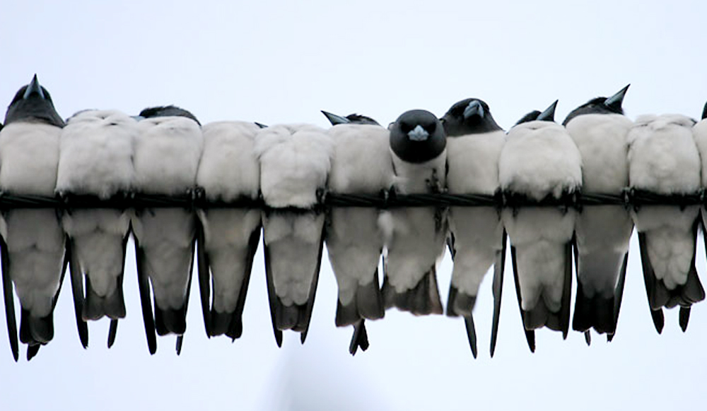 Inilah parade burung kekep babi di atas kabel telepon.