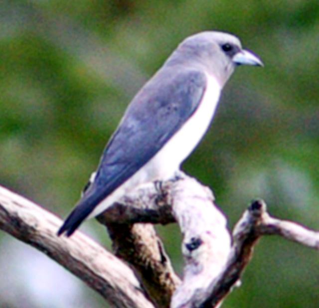 Burung kekep babi ras albiventer.