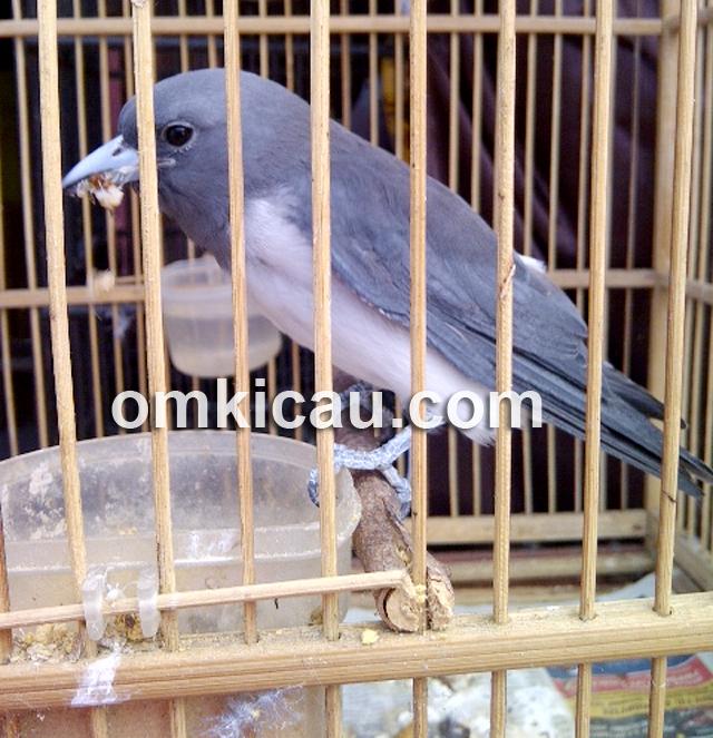 Burung kekep babi (Artamus leucorynchus)