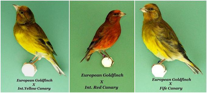 BEBERAPA KENARI HIBRID | Photo charlies song birds