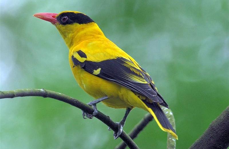 Burung kepodang emas