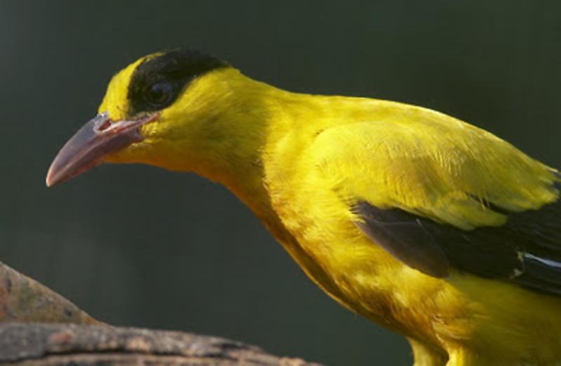 Burung kepodang kapur