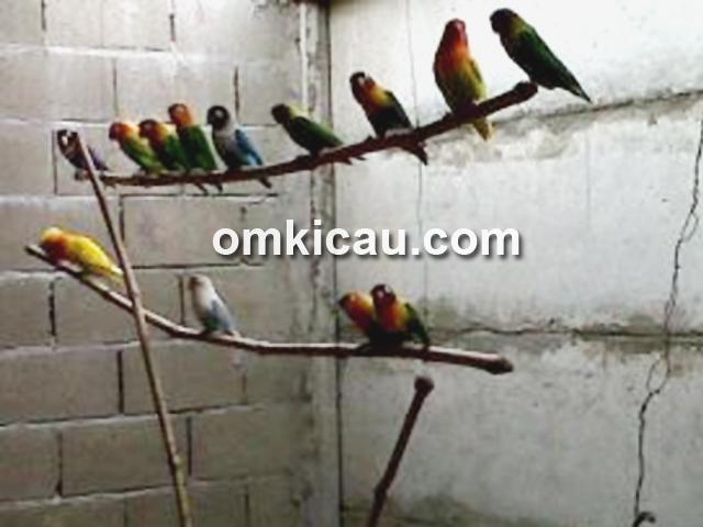 Kandang penangkaran lovebird Agus Arizon BF. (Foto: Kelana Lana)