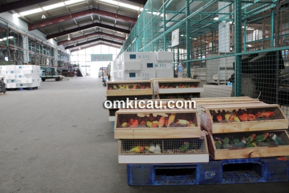 Ribuar ekor lovebird holland pesanan Om Sutan tiba di Bandara Soekarno-Hatta, Cengkareng.